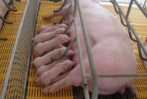 Tầm quan trọng của sữa đầu đối với gia súc giai đoạn sơ sinh